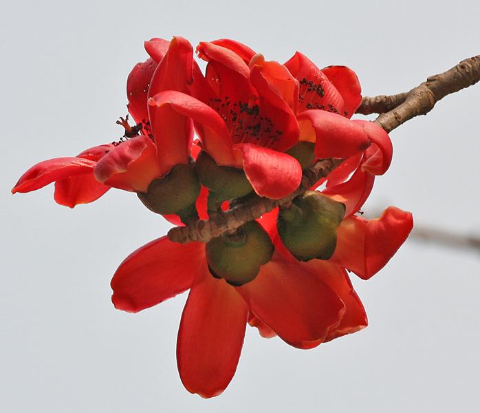 Semal_(Bombax_ceiba)_flowers_in_Kolkata_W_IMG_4116.jpg