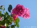 2015薔薇4
