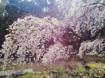 近衛邸址の糸桜