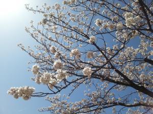 桜①_convert_20150409160550