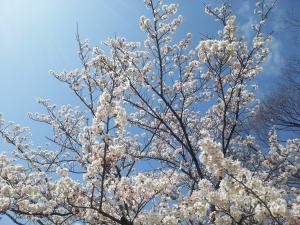 桜②_convert_20150409160618