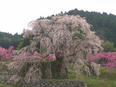 Matabee_Sakura[1]
