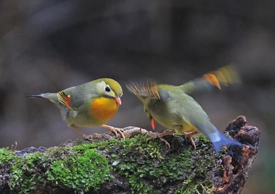 IMG_3444相思鳥