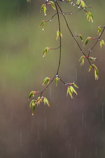 _MG_9334雨もみじ