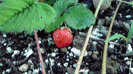 苺c20150418