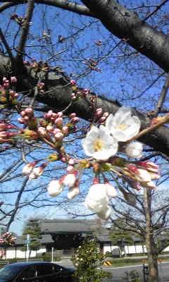 150326東本願寺前桜