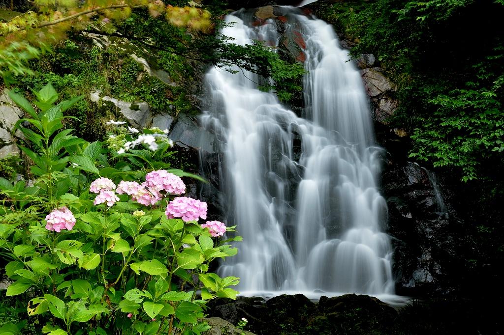 霧合滝の紫陽花