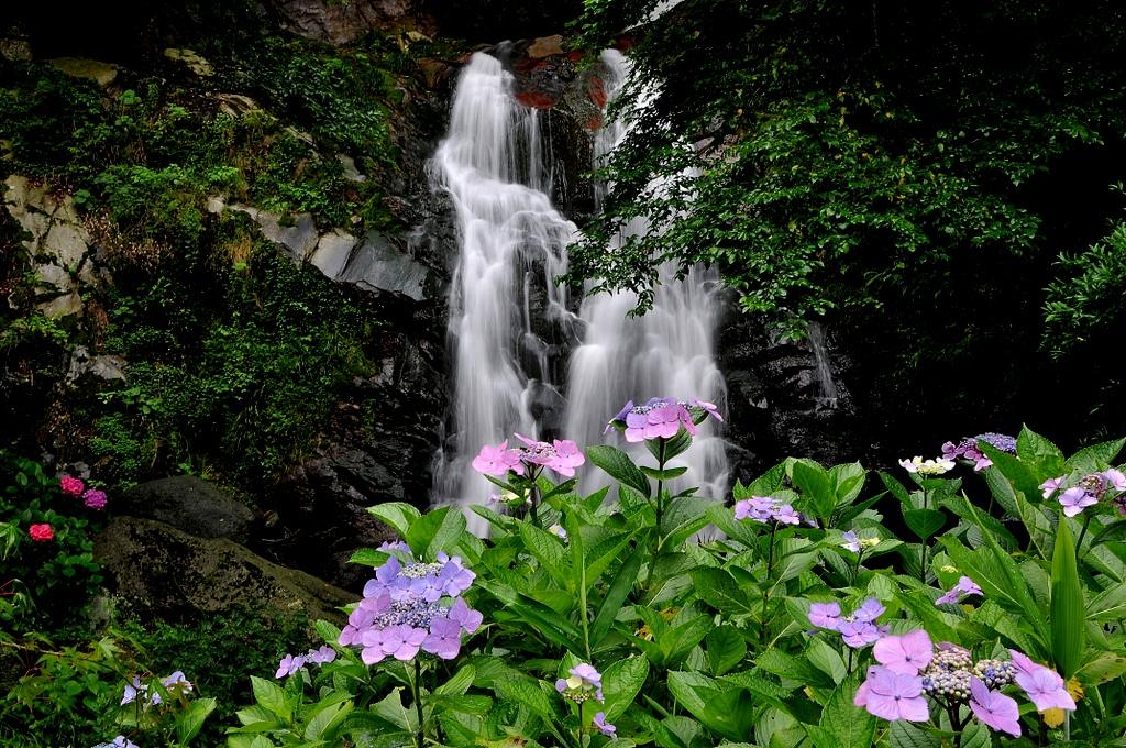 霧合滝の紫陽花開花情報