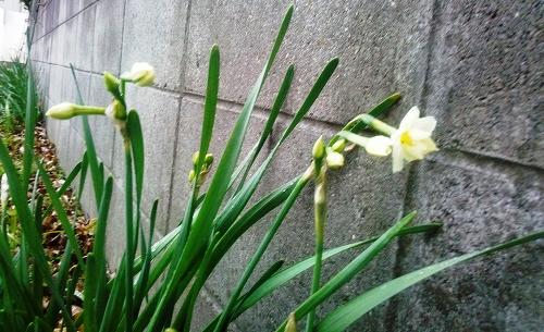 咲き出した水仙