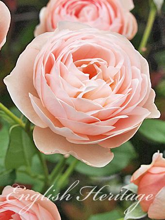 rose2015_48.jpg