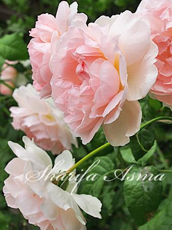 rose2015_75.jpg