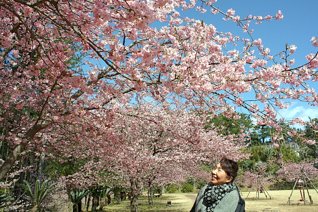 """桜名""""伊豆の踊り子""""2月下旬まで"""