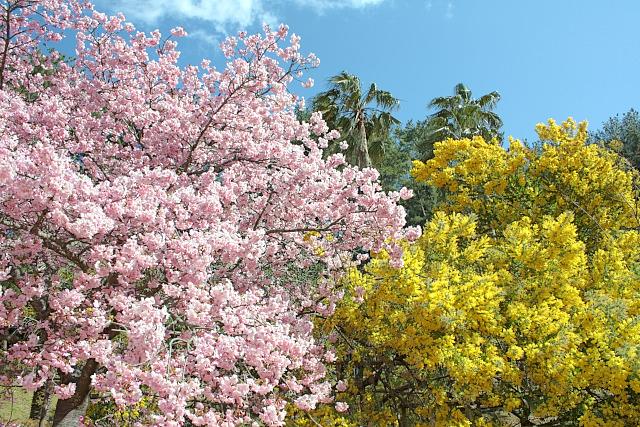 満開の桜とミモザと青空