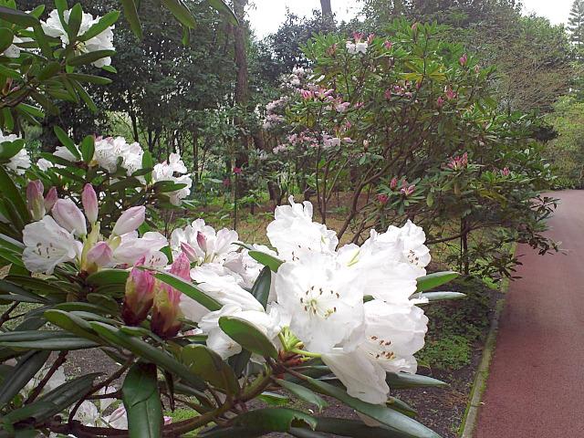 石楠花の薄いピンクが素敵