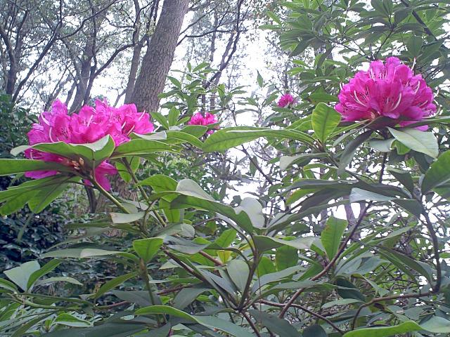 鮮やかなピンクの石楠花