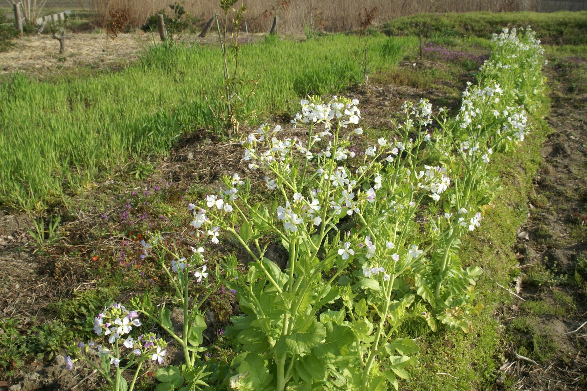 方領大根、種取り用の花が咲きほころぶ