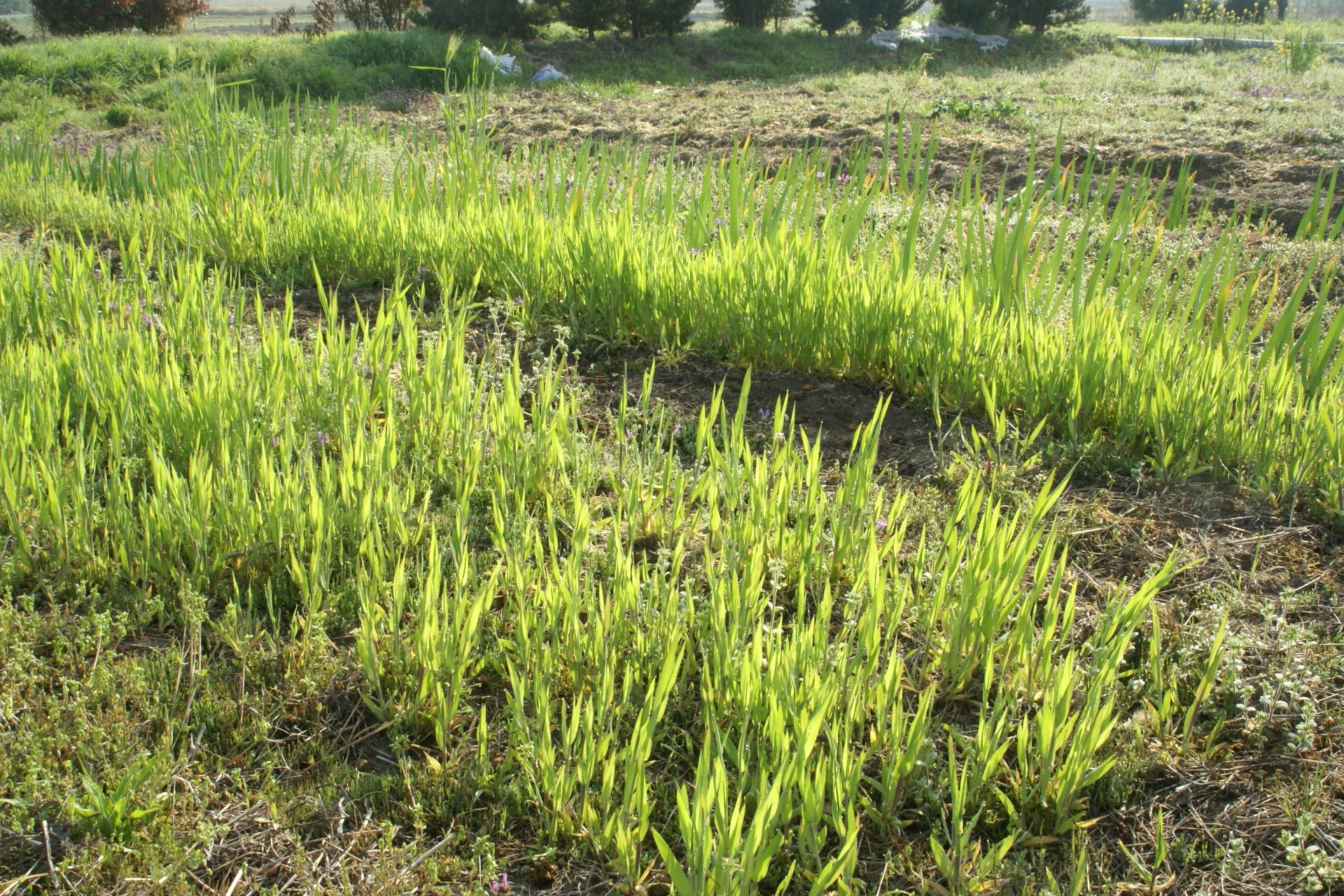 大麦は今年も成長しはじめた。5月末には収穫予定