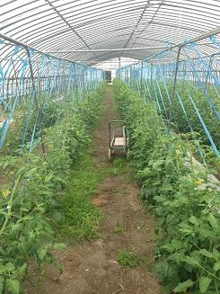 トマト畑の写真