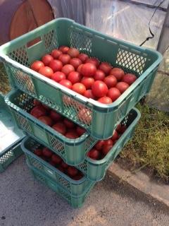 トマトの収穫画像1