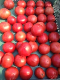 トマトの収穫画像2