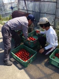 トマトの収穫画像3