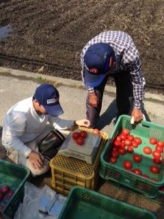 トマトの収穫画像4