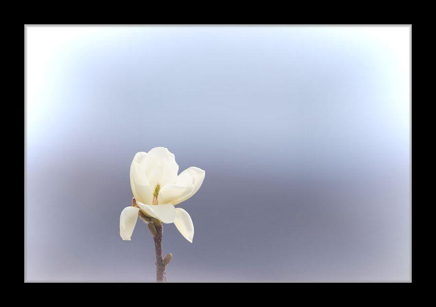 モクレンが咲き始めた