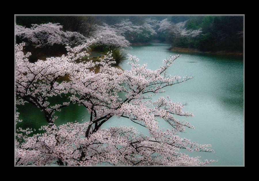 貯水湖の桜