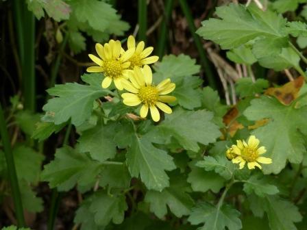 キク科の花