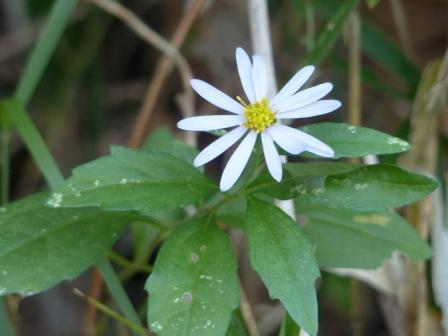 キク科の白い花