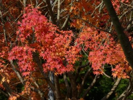 鈍川渓谷 紅葉 1