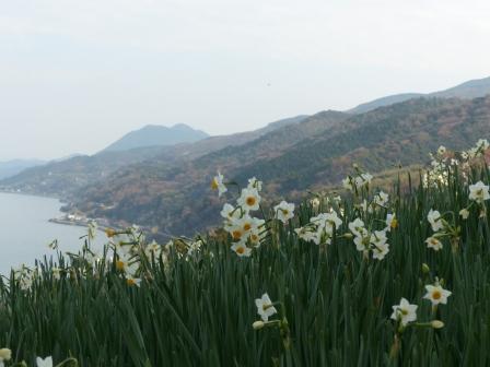 双海町 水仙畑 3