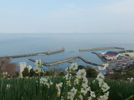 双海町 水仙畑 4