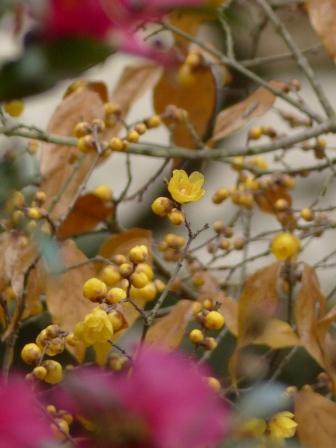 藤山健康文化公園 蝋梅と山茶花 3