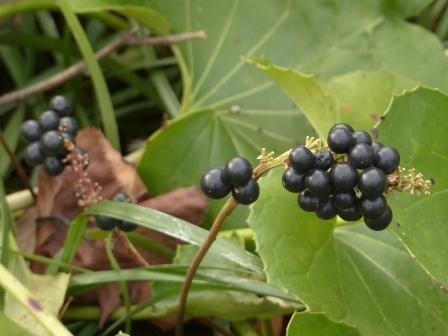 森の交流センター 黒い実