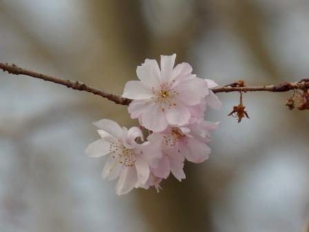 森の交流センター 十月桜 1