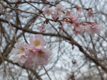 森の交流センター 十月桜 2