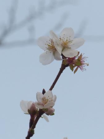 森の交流センター 冬桜 1
