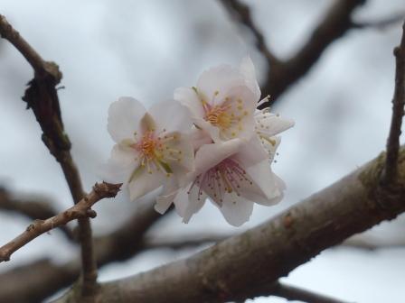 森の交流センター 冬桜 2