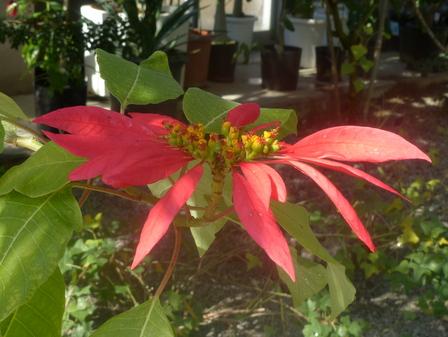 筑波実験植物園 ポインセチア 2