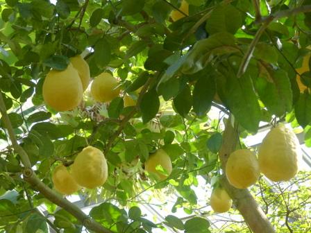 筑波実験植物園 レモン 'ポンテローザ' 2