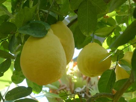筑波実験植物園 レモン 'ポンテローザ' 1