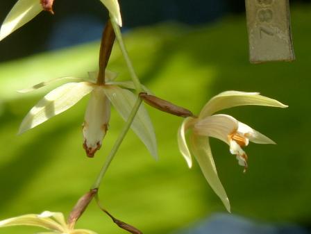 筑波実験植物園 ラン科の花 3-2