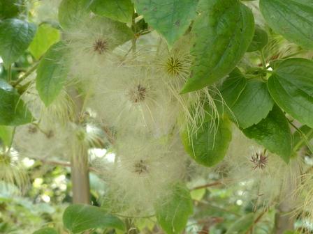 筑波実験植物園 ビロードボタンヅル の痩果 2
