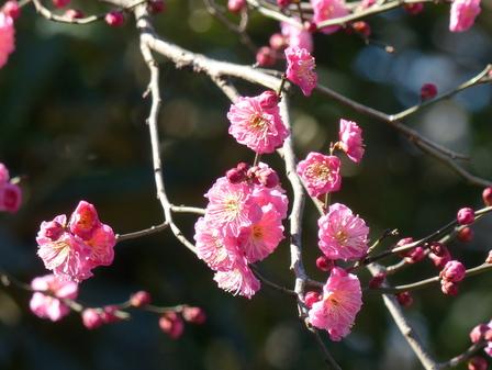 上野東照宮・ぼたん苑 梅