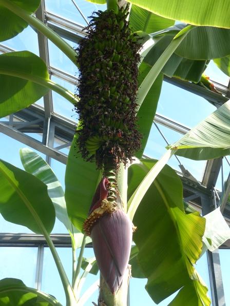 筑波実験植物園 センナリバナナ 1