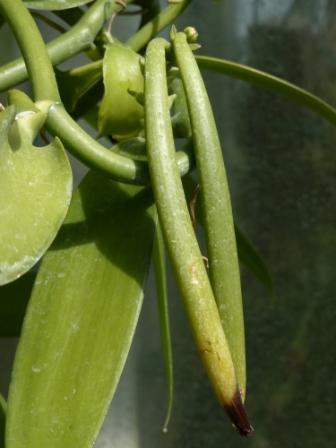 筑波実験植物園 バニラの果実 2