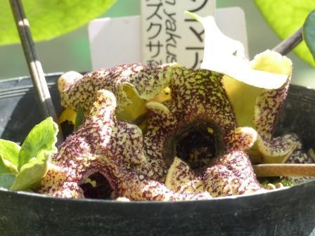 筑波実験植物園 ヤクシマアオイ