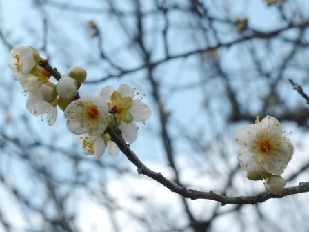 筑波山梅林 緑萼梅 1