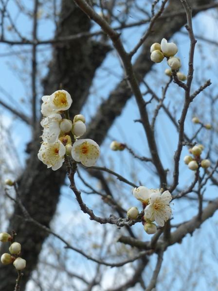 筑波山梅林 緑萼梅 2